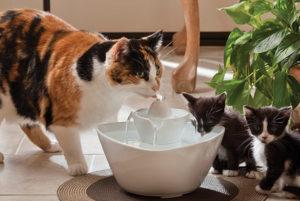 Gats bebent d'una font d'aigua consells veterinari girona
