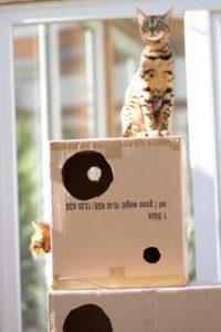 consell veterinari girona gats jugant amb una caixa