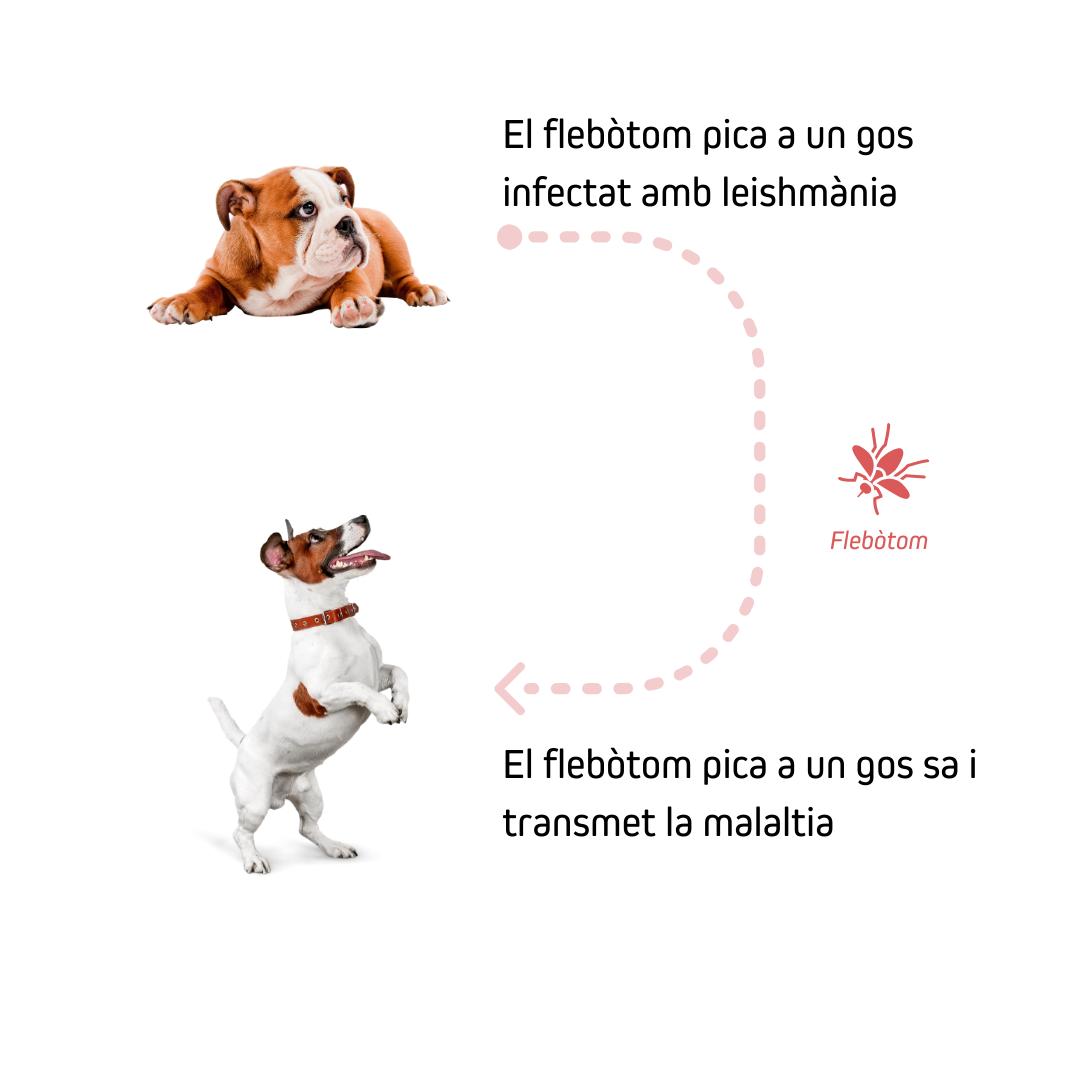 La leishmaniosi se transmite por la picada del flebotomo